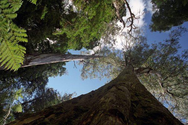 Tasmania - Styx Forest