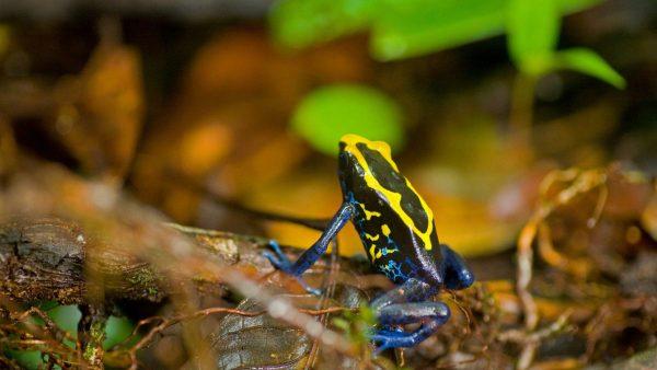 French Guiana - Trésor Reserve - Dyeing poison frog, Dendrobates tinctorius