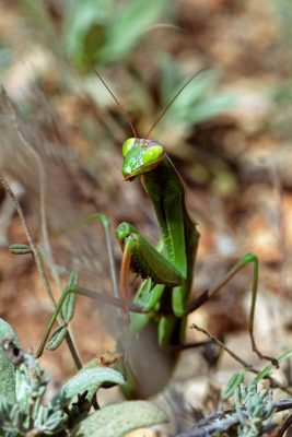 France - La Peyne - Mantis religiosa
