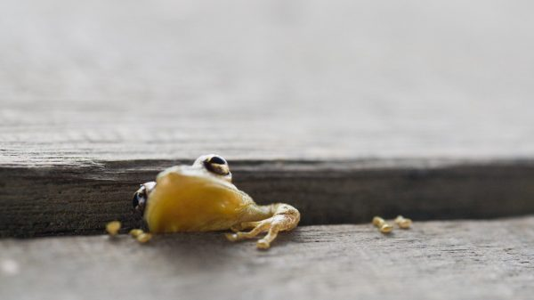 Suriname - Bigi Pan - Frog