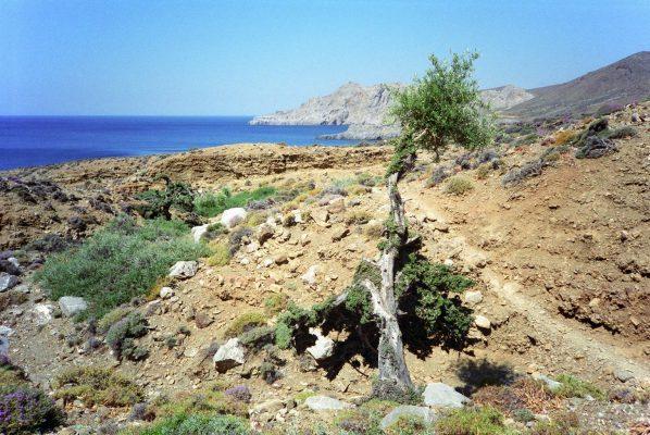 Crete - Lendas - Olive tree