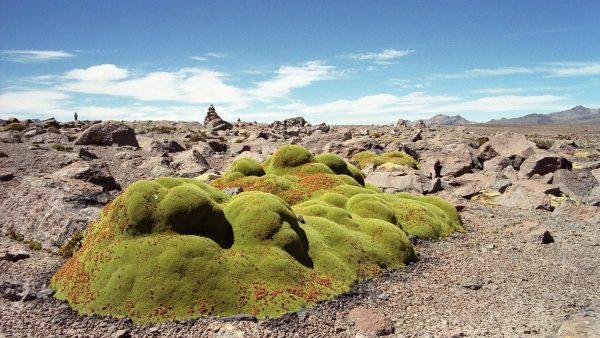 Peru - High Altitude Moss (Champa) near Chivay